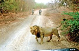 The loitering lions of Gir