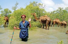 Kharai camel is sinking as mangrove belt shrinks